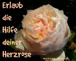 herzrose-iii